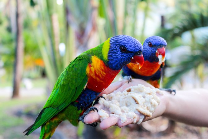 Rainbow lorikeets, Airlie Beach, Queensland, Australia